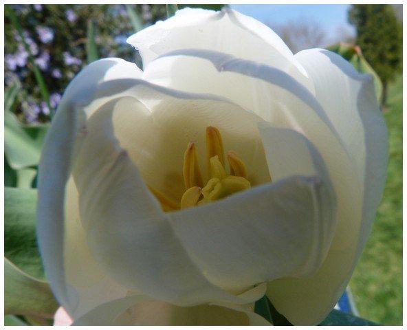 camélia blanc 2012