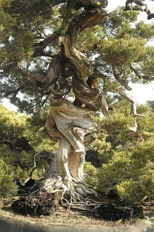 Les vieux arbres ...