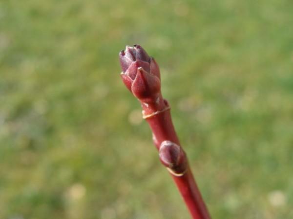 Acer rubrum1