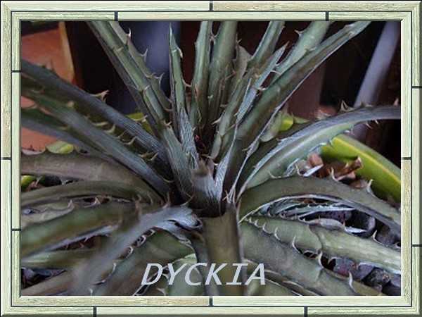 Un-named Dyckia close up