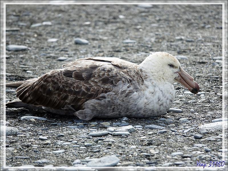 Pétrel de Hall, Northern Giant Petrel (Macronectes halli) -  Saint Andrews Bay - Géorgie du Sud
