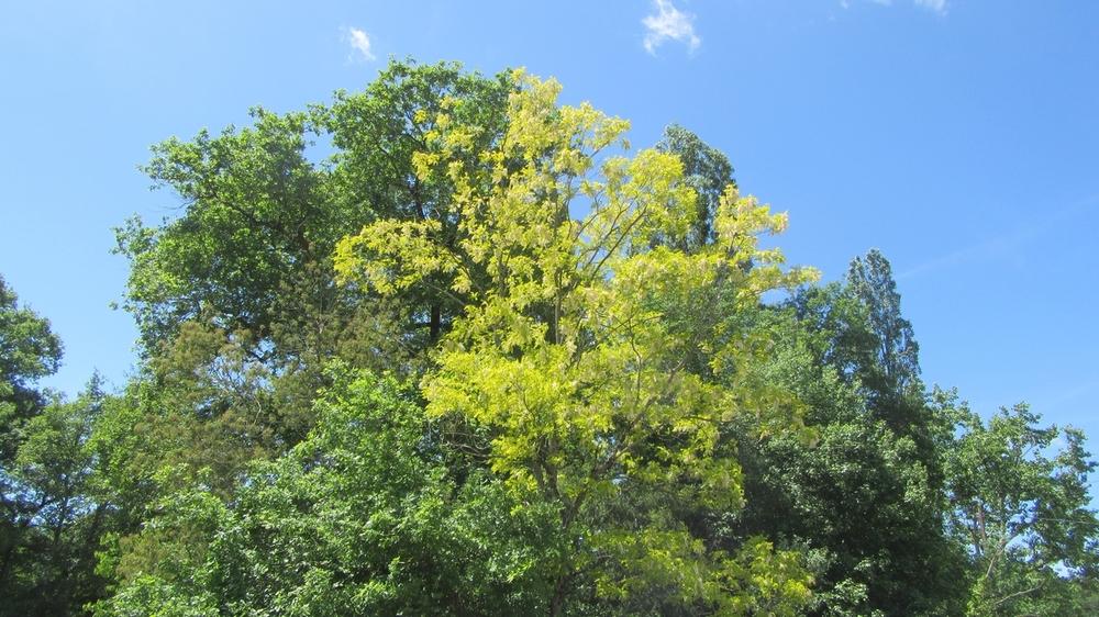 L'acacia doré