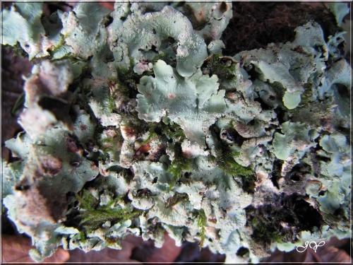 Lichens foliacés.
