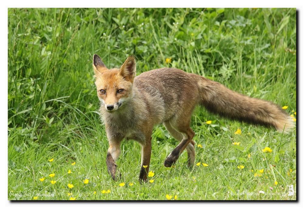 Le renard mal-aimé