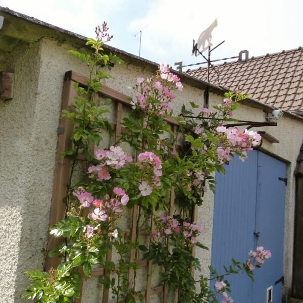 massif-de-la-potence---rosier-multiflora-adenochaeta--800x8.jpg