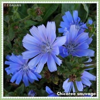 Chicoree sauvage-Cichorium intybus