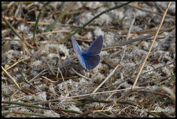 Papillon, Le bleu nacré