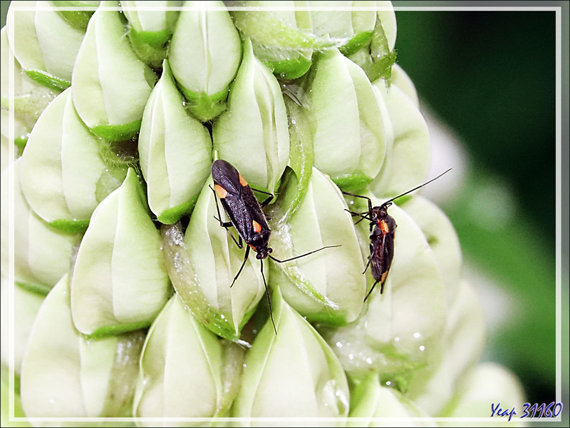 Punaise Miridae gothique (Capsodes gothicus) - Lartigau - Milhas - 31