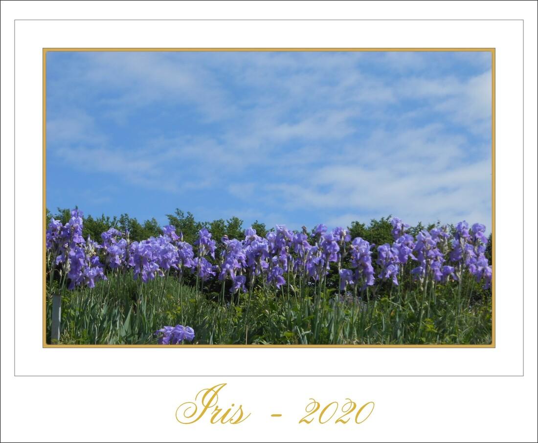 poster iris et coquelicots