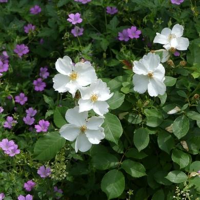 Voici des roses blanches...