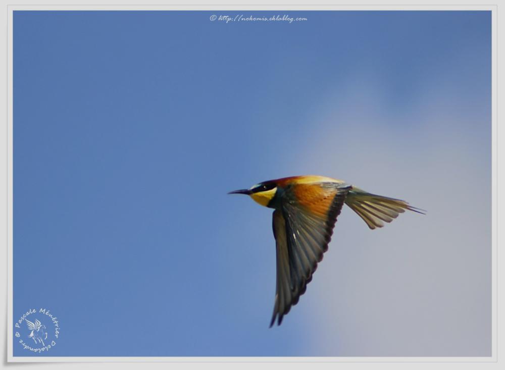 Guêpiers d'Europe - Merops apiaster - European Bee-eater