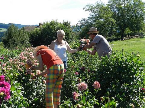 L'ASTAP et sa production de dahlias: Des bouquets de fleurs par milliers !