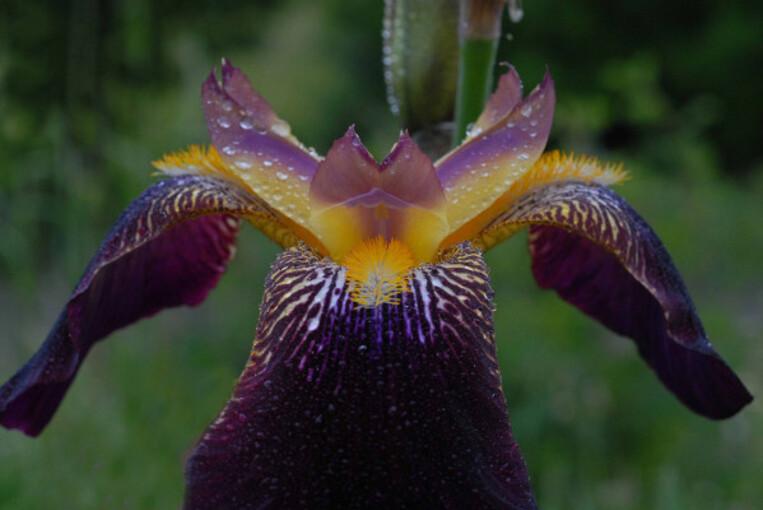 Iris M 028