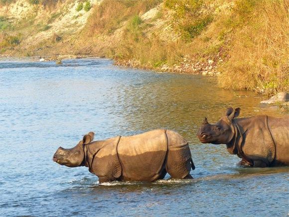 le rhinocéros unicorne ou indien