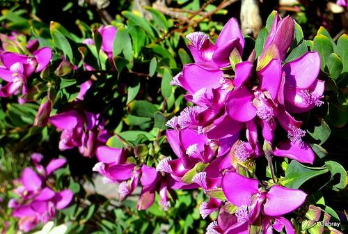 Le Barcarès: fleurs dans mon jardin...