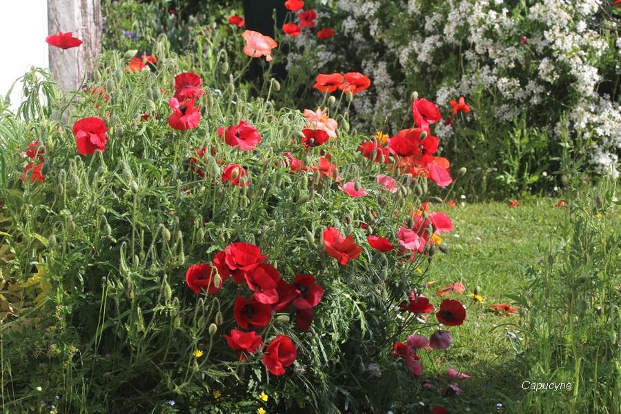 le jardin c t champ tre 2 coquelicots et g ranium herbe robert la nature et la plume. Black Bedroom Furniture Sets. Home Design Ideas