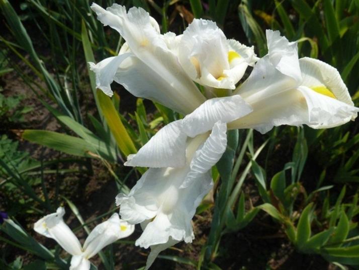 Les iris ..