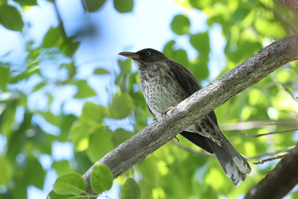 Moqueur corossol - Jardin des colibris