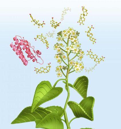 La « vigne du tonnerre divin » favoriserait l'action de la molécule de leptine, une hormone coupe-faim. © Eric Smith
