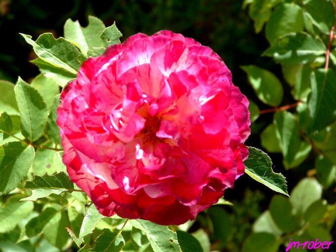 Ma dernière rose pour l'été ?