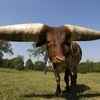 Lurch - Largest Horn Circumference .jpg