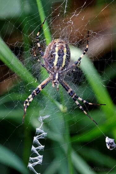 Araignée Argiope (Argiope bruennichi)