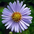 120px-Aster Tataricus
