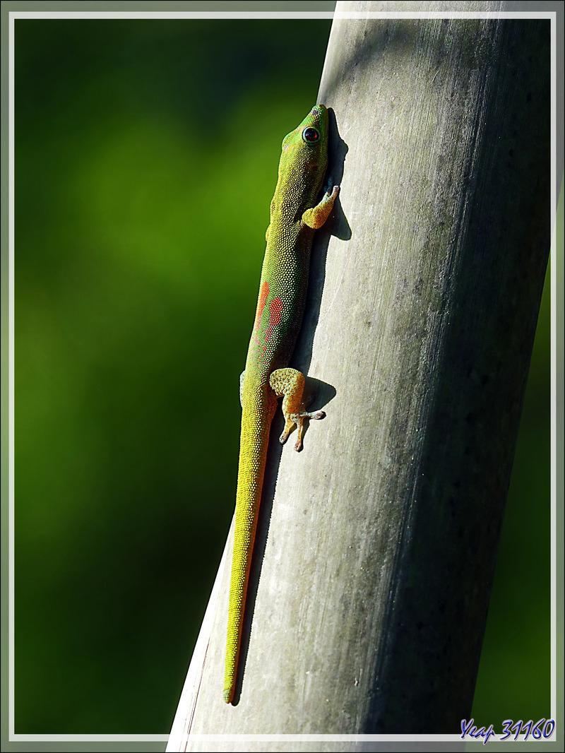 Gecko diurne à poussière d'or (Phelsuma laticauda) - Nosy Be - Madagascar