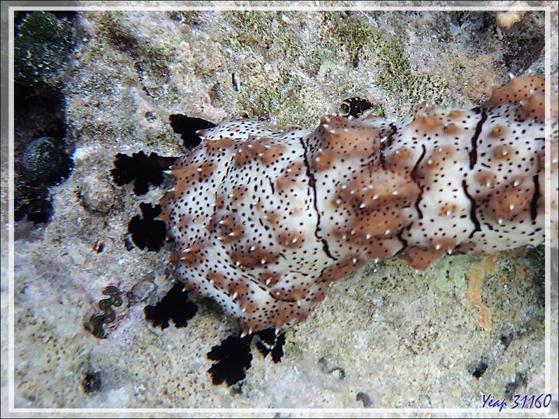 Holothurie rayée, Holothurie tiretée, Striated sea cucumber, Blackspotted sea cucumber (Pearsonothuria graeffei) - - Snorkeling à Moofushi - Atoll d'Ari - Maldives