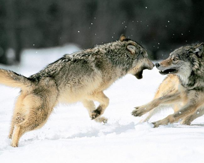 10 images de Loups