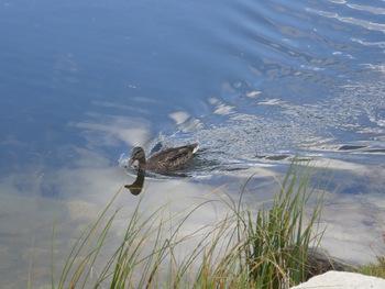 Canard sur l'étang