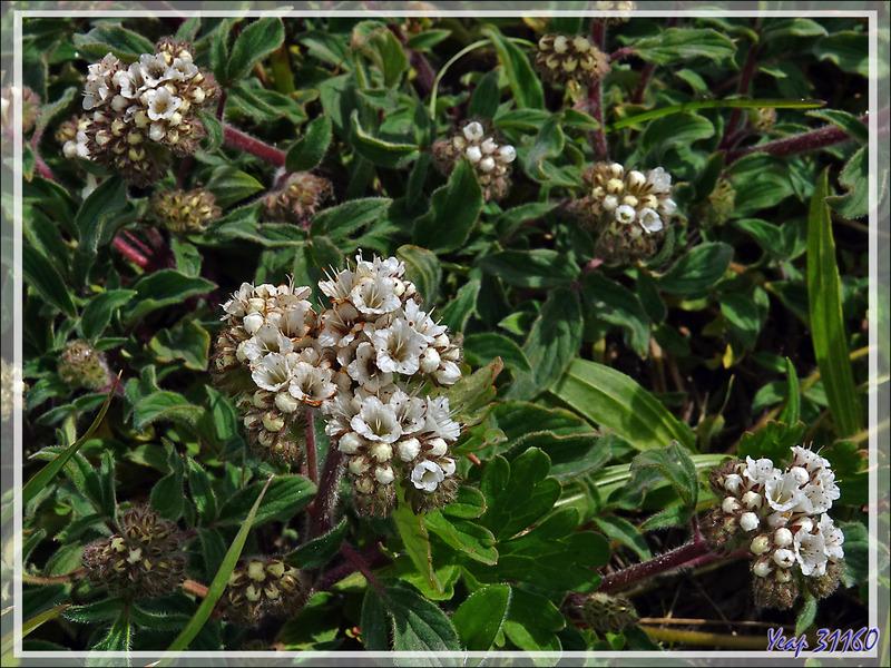 Petite fleur blanche Flor (ou herba) de la cuncuna (Phacelia secunda) - Parque Torres del Paine - Patagonie - Chili