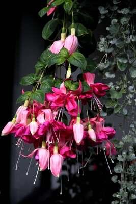 Fuchsias Bella Rosella : évolution sur une dizaine de jours