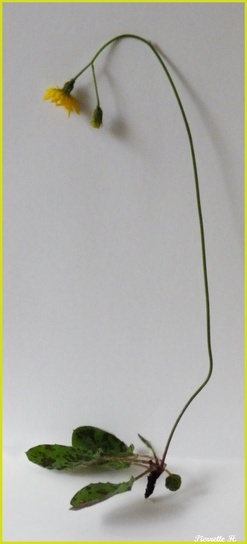 Epervière bleuâtre