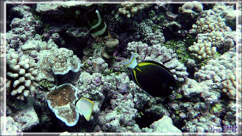 Poisson-cocher du Pacifique, Chirurgien à joue blanche et Poisson-papillon à chevrons - Tumakohua (passe sud) - Atoll de Fakarava - Tuamotu - Polynésie française