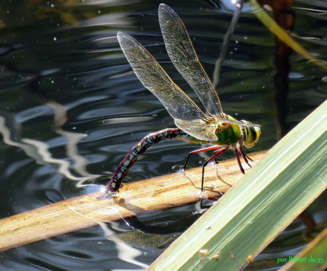 une libellule qui pond