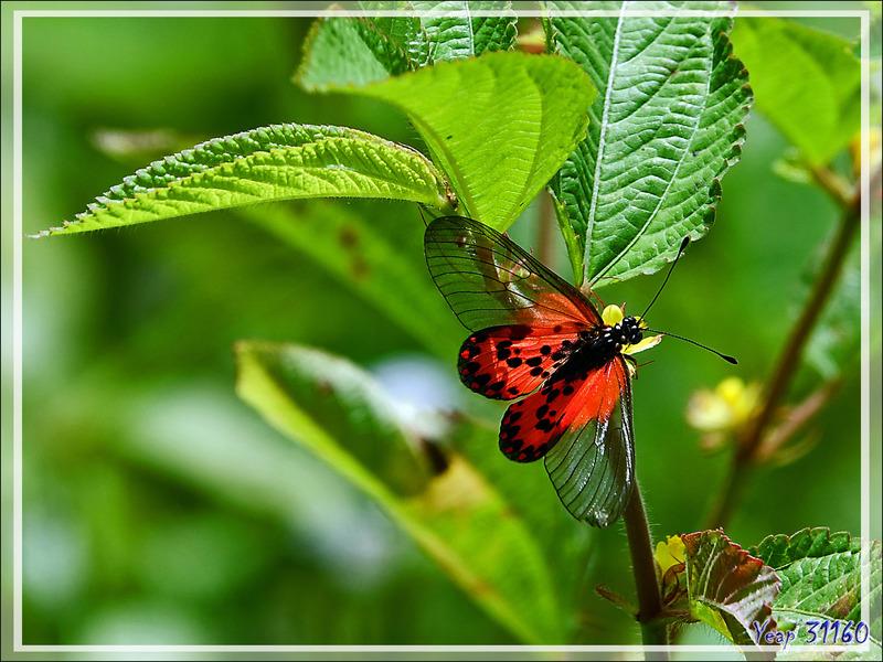 Papillon Acraea masamba - Nosy Be - Madagascar