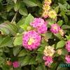 Fleur poussant dans la lande portuguaise 3 - Vila Nova de Milfontes (2)