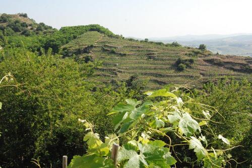 Les vignes s'étalent à flan de colline