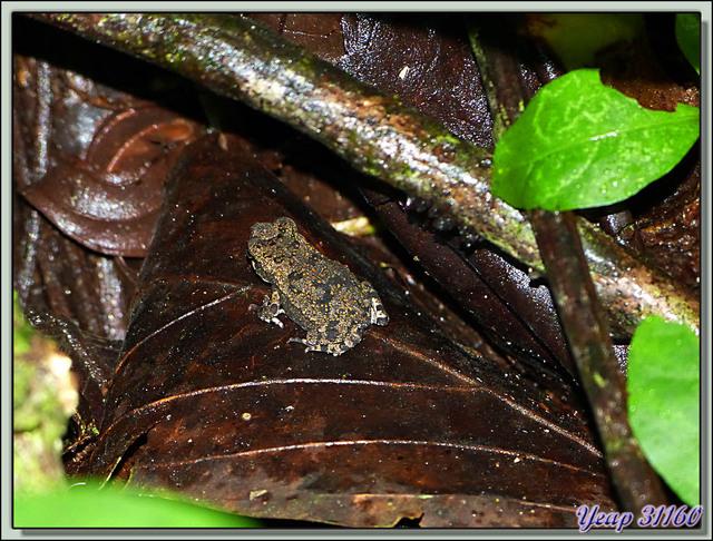 Blog de images-du-pays-des-ours : Images du Pays des Ours (et d'ailleurs ...), Minuscule crapaud - Puerto Viejo de Sarapiqui - Costa Rica
