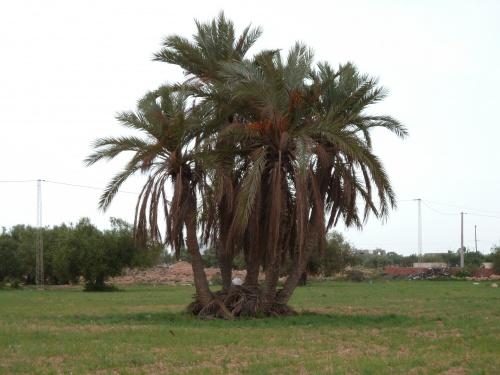 Un beau palmier dattier