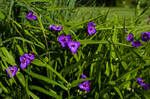 Plante vivace 004
