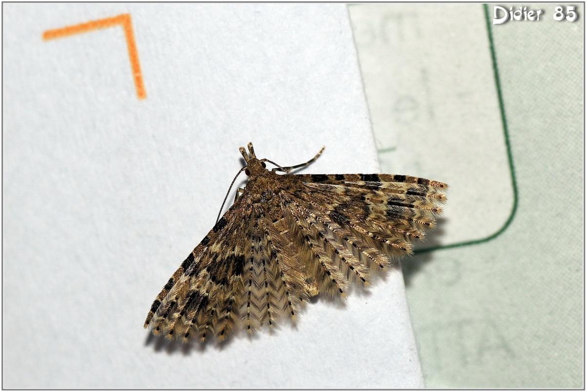 Ornéode du Chèvrefeuille (1) - Alucita hexadactyla