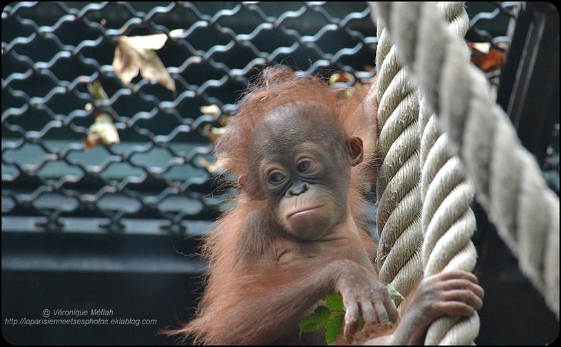 La Ménagerie, Zoo du Jardin des Plantes : Java, le petit Orang-Outan