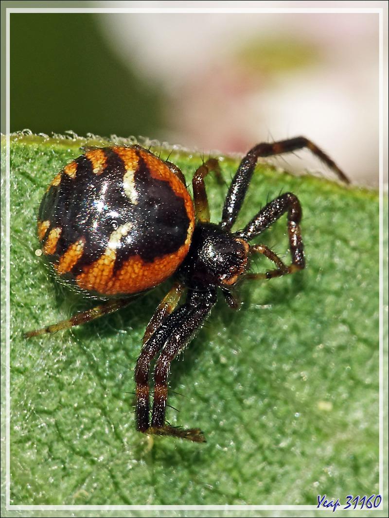Araignée-crabe Napoléon,Thomise globuleuse forme rouge (Synema globosum) - Lartigau - Milhas - 31