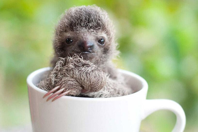Le plus mignon des Bébés Paresseux a été sauvé au Costa Rica (2)