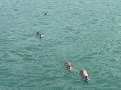Les daims nagent vers le bateau