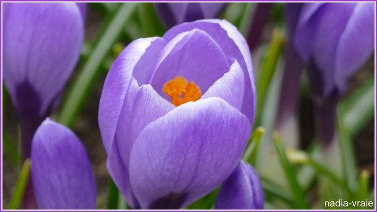 Les premières fleurs du printemps.