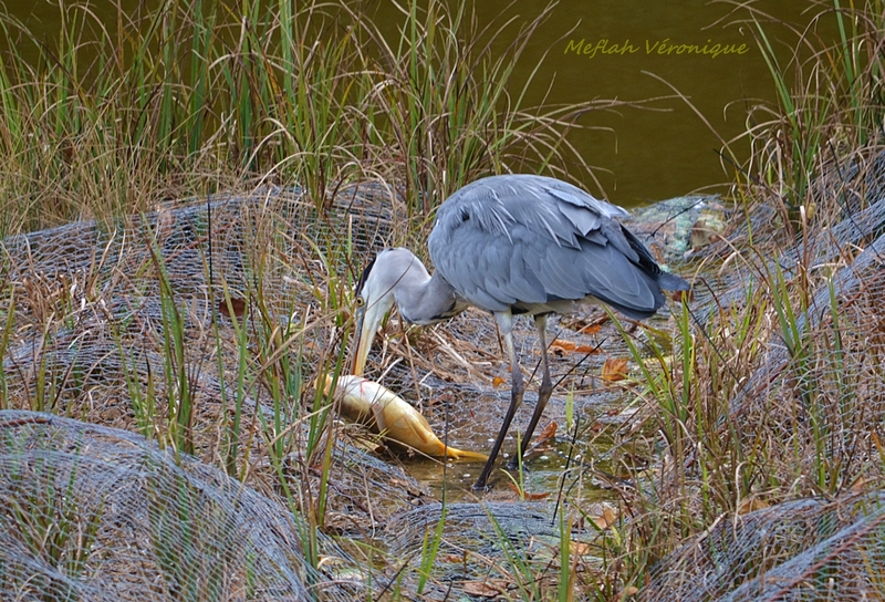 Domaine de Sceaux : La pêche du héron cendré