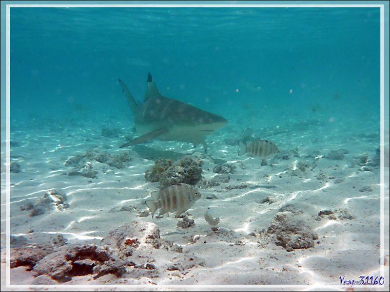 Requin pointes noires, Blacktip reef shark (Carcharhinus melanopterus) - Pension Kuriri - Maupiti - Polynésie française
